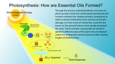 How Essential Oils form by Gary Young - Photosynthesis