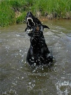 Doberman acting like a gator