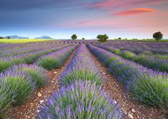 Sunset, Lavender Field, Provence, France by ToИio, via Flickr