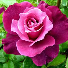 Beautiful Rose Flowers, Flowers Nature, Exotic Flowers, Amazing Flowers, Beautiful Flowers, Flowers Garden, Colorful Roses, Pretty Roses, Black Flowers