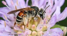 Knautiabij: wordt sporadisch gezien in de regio rond Gingelom. Enkel grote populaties beemdkroon kunnen een gezonde populatie knautiabijen herbergen.