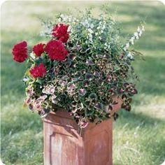 Removing the old blooms of these heat-loving plants will encourage constant flowering and frequent watering will maintain a healthy appearance. Use a slow-release fertilizer - like Osmocote - when planting, then feed every 2 to 3 weeks with a water-soluble fertilizer.