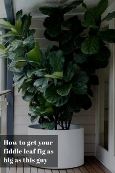 Is your fiddle leaf fig tree looking a little worse for wear? Garden designer and director of Garden Life, Richard Unsworth, shares his top tips for growing and caring for fiddle leaf fig trees. Big Leaf Plants, Big Indoor Plants, Big Leaf Indoor Plant, Indoor Vegetable Gardening, Organic Gardening, Fairy Gardening, Gardening Quotes, Gardening Tools, Hydroponic Gardening