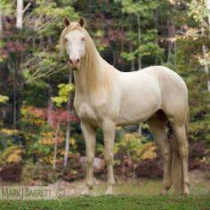 Cremello Rocky Mountain Horse gelding