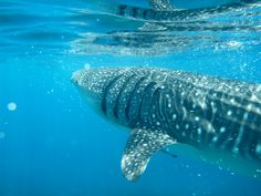 Top 5 Places for Whale Shark Encounters