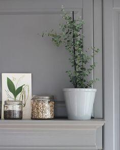Eucalyptus i kruka