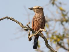 Coracias naevius - Purple Roller -- Sighted: 6/2/2015 Lions Sands Private Game Reserve
