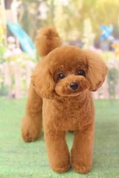 More About The Eager Poodle Puppies Positive Dog Training, Basic Dog Training, Dog Training Methods, Training Dogs, Poodle Grooming, Dog Grooming, Poodle Haircut, Poodle Cuts, Dog Behavior