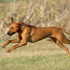 Rhodesian Ridgeback, a great running partner is one of the many reasons I love this breed and can't wait for the addition to my clan! :)