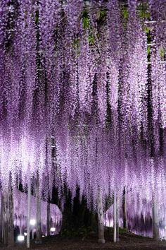 Ashikaga Flower Park, Tochigi, Japan  #藤 #Wisteria