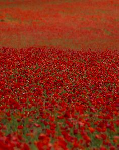 I remember how excited I was to see my first Poppy field in France......Love at first sight .......