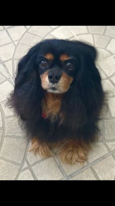 Cavalier King Charles Spaniel – Graceful and Affectionate King Charles Spaniel, Cavalier King Charles, Lady, Animals, Buckets, Beautiful, Sweet, Pretty, Candy