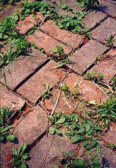 baking soda swept into the cracks of your brick walk/deck/drive will kill weeds the Natural Way