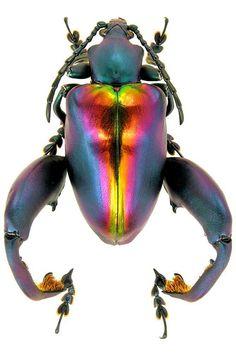 Frog-legged Leaf Beetle – Sagra buqueti, M.E. Smirnov (Photographer)   Purely Inspiration