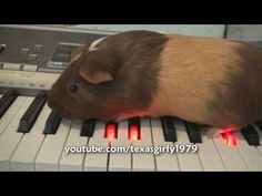 American Animal Idol : Guinea Pig  plays Piano.