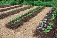 Straw on paths will 'sheet compost' by season's end.