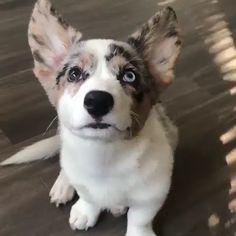 Corgi Funny, Corgi Gif, Baby Corgi, Cute Corgi Puppy, Corgi Pups, Cardigan Welsh Corgi Puppies, Pembroke Welsh Corgi, Corgi Puppies For Sale, Cute Puppies