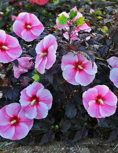Hibiscus Starry Starry Night, hardy z slightly smaller variety Full Sun Flowers, Tropical Flowers, Cut Flowers, Fall Flowers, Hibiscus Plant, Pink Petals, Green And Purple, Bright Green, Types Of Plants