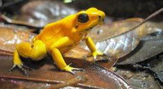 Phyllobates terribilis Top 10 Most Poisonous Frogs In The World