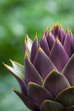 Artichoke 'Violet de Provence ' - Globe Artichoke Sow Direct in July for the next year