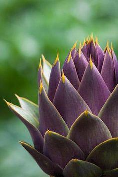 Artichoke 'Violet de Provence ' - Globe Artichoke