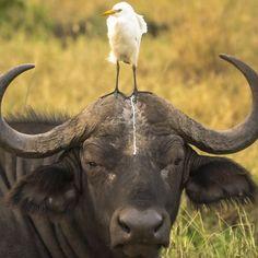 Búfalo e pássaro