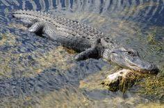 El Parque Nacional de Everglades en EE.UU., acoge numerosas especies de aves y reptiles, algunas incluso en peligro de extinción. Sin embargo, la canalización del agua de sus pantanos está acabando con la profundidad de estas aguas donde habitan numerosos animales como los caimanes estadounidenses y la contaminación de fertilizantes agrícolas está matando a numerosas especies que habitan estos pantanos. Os dejo el siguiente vídeo con más información…