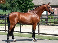 Blood bay Jumper Warmblood horse - Winston - Stallion horse for sale   Benny de Ruiter Stables