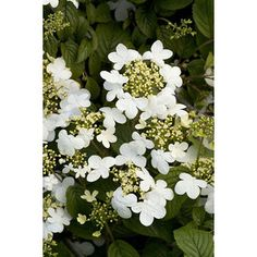Shop Monrovia 1.6-Gallon White Summer Snowflake Viburnum Flowering Shrub at Lowes.com