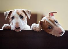 English Bull Terriers