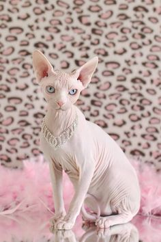 Someone from Alberta is cheating cat lovers by selling them shaved kittens. These shaved kittens were sold in the market as the hairless Sphynx cats. I Love Cats, Crazy Cats, Cool Cats, Pretty Cats, Beautiful Cats, Animals Beautiful, Gato Maine, Sphinx Cat, Rex Cat
