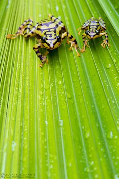 Ornate Rainfrog (Pristimantis ornatissimus) by Lucas M. Funny Frogs, Cute Frogs, Amazing Frog, Awesome, Frog And Toad, Tier Fotos, Reptiles And Amphibians, Animals Of The World, Nature Animals