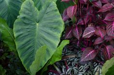 Colocasia 'Mammoth' with Iresine herbstii 'Blazin Rose' underneath  and  tradiscantia zebrina http://www.exoticgarden.com/blog/the-garden/a-tropical-paradise-at-the-exotic-garden%E2%80%A6/