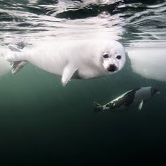 """Photo by @DavidDoubilet with @jenniferHayesig A days old harp seal pup called a """"whitecoat"""" swims in the icy waters of the #GulfofStLawrence near #PrinceEdwardIsland. Join Jennifer Hayes and I for our presentation  #CoralFireIce @ArtsCommons #Calgary March15-16 with #NGLive. One year on @natgeo assignment from islands to ice. With @NikonCamera @Seacam #polar, #harpseal #climatechange #GoToEdgeKeeponGoing"""