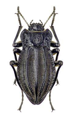 Epipedonota penai, henceforth known as the Victorian Garden Bug :P