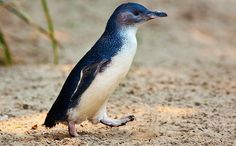 The Little Penguin (Eudyptula minor) is the smallest species of penguin. The penguin, which usually grows to an average of 33 cm (13 in) in height and 43 cm (17 in) in length (though specific measurements vary by subspecies),[2][3] is found on the coastlines of southern Australia and New Zealand, with possible records from Chile