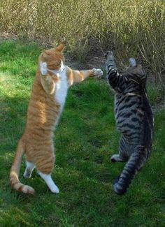 Cats Fighting Funny : fighting, funny, Fight