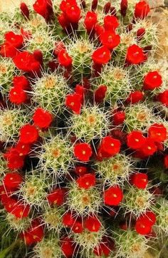 Cactus with red flowers