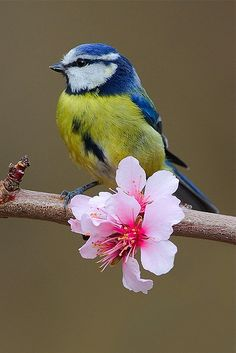 Blue Tit (Cyanistes caeruleus) widespread throughout temperate Europe and Western Asia Cute Birds, Pretty Birds, Beautiful Birds, Animals Beautiful, Cute Animals, Birds Pics, Wild Animals, Exotic Birds, Colorful Birds