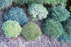 Miniature conifers - Left to Right Rear: Picea glauca 'Echiniformis', Picea jezoensis 'Nana Kalous', Abies koreana 'Silberperle' Front: Abies koreana 'Silberkugel', Picea abies 'Brno', Pinus uncinata 'Etschtal'