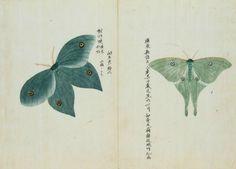 Keisuke Ito | Lepidoptera (c. 1850s) | Oomizuao (Actias artemis)