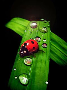 ladybug and droplets on green leaf