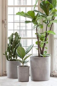go green with house plants. Potted plants near a window including a fiddle leaf fig, ficus lyrata.