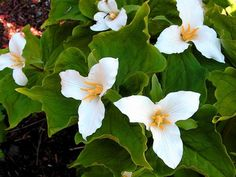 A cherished spring wildflower, wake robin is often referred to by its botanical name, trillium. This plant unfurls a perfect trio of petals skirted with a trio of leaves. Trillium thrives in woodland settings or partly shaded garden beds with humus-rich soil. Plants go dormant in summer, after heat arrives. Hardy in Zones 4 to 8.