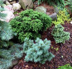 Tsuga canadensis 'Jeddeloh', Abies koreana 'Blauer Eskimo', and Pseudotsuga menziesii 'Blue Lullaby'  ~Dan's Garden