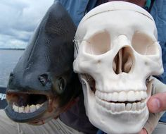 """40 Bizarre Creatures That Actually Exist On Earth.The Pacu Fish, native to South America, is nicknamed the """"ball cutter"""" by local male fishermen, who fear swimming in the water because of the animals human-like smile. Bizarre Animals, Ugly Animals, Unusual Animals, Rare Animals, Interesting Animals, Interesting Facts, Pacu Fish, Glaucus Atlanticus, Especie Animal"""