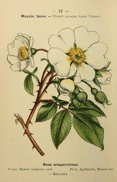 fleurs coloriees - rosier toujours vert - rosa sempervirens