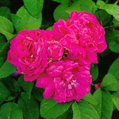 Buskros 'Hansa' My Secret Garden, Flowers, Plants, Espadrilles, Espadrilles Outfit, Florals, Plant, Flower, Bloemen
