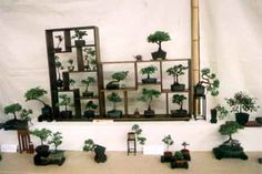 """The Bonsai Primer on Bonsai sizes: Mame (pronounced """"Ma-May"""") and Shito are the smallest of bonsai, ideally being no more than 10cm in height, however Shito Bonsai can be so small that they are grown in pots the size of thimbles."""