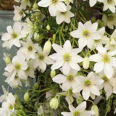 Bloei mrt-apr, hoogte tot 2 m Flower Garden, White Flowers, White Gardens, Evergreen Plants, Beautiful Flowers, Flowers Nature, Garden Vines, Clematis, White Plants